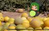 メロンの収穫 - Melon Harvest (308).png